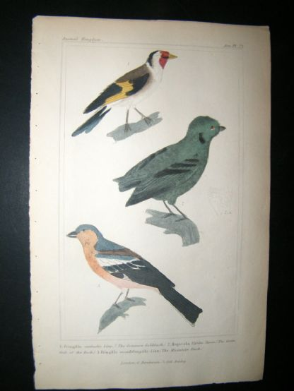 Cuvier C1835 Antique Hand Col Bird Print. Common Goldfinch, The Green Cock Of  The Rock, Mountain Finch, 23 | Albion Prints